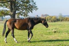 Um cavalo de baía que anda na grama verde Vista lateral imagens de stock