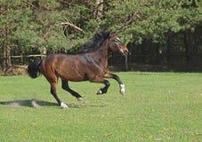 Um cavalo de chicote de fios move-se em um pasto Fotografia de Stock