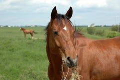 Um cavalo de louro Fotografia de Stock Royalty Free