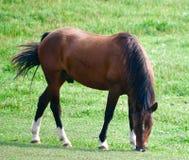 Um cavalo de pastagem Fotografia de Stock Royalty Free