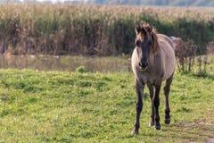Um cavalo do konik em Oostvaardersplassen nos Países Baixos Fotografia de Stock
