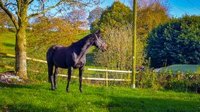 Um cavalo do puro-sangue Imagens de Stock