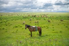 Um cavalo do ` s do pastor com uma sela e um chicote de fios perto do rebanho fotos de stock