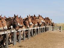Um cavalo entre mulas Imagem de Stock Royalty Free