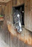 Um cavalo espreita da porta estável imagens de stock