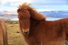 Um cavalo islandês que olha o visor na frente das montanhas cobertos de neve e de um lago Foto de Stock