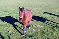 Um cavalo marrom Fotografia de Stock