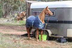 Um cavalo marrom com um tapete azul tethered a um flutuador do cavalo imagens de stock royalty free