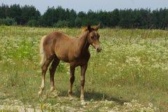 Um cavalo marrom pequeno está na grama verde e nas flores fotos de stock