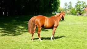 Um cavalo marrom que anda na grama video estoque