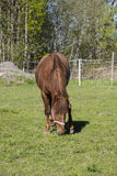 Um cavalo marrom que come a grama em um campo verde em Finlandia Foto de Stock