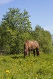 Um cavalo marrom que come a grama em um prado verde em Finlandia Fotografia de Stock
