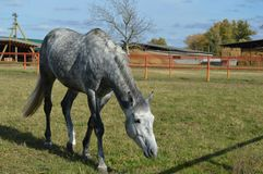 Um cavalo muito bonito Fotos de Stock Royalty Free