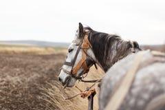 Um cavalo nas maçãs com um carro está no campo, olhando afastado, pro Imagem de Stock Royalty Free