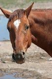 Um cavalo no lugar molhando Fotografia de Stock Royalty Free