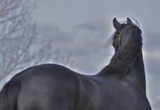 Um cavalo preto bonito Imagens de Stock