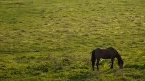 Um cavalo preto que come a grama imagens de stock royalty free