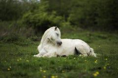 Um cavalo que estabelece no campo Fotos de Stock Royalty Free