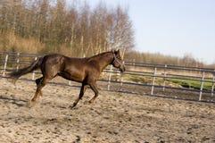 Um cavalo running marrom fotos de stock