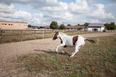 Um cavalo selvagem engana ao redor no prado na exploração agrícola foto de stock