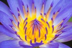 Um centro da flor de Lotus roxa foto de stock