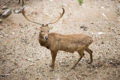Um cervo Fotos de Stock