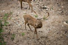 Um cervo Imagem de Stock Royalty Free