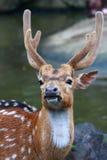 Um cervo Imagens de Stock