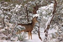 Um cervo alerta Fotos de Stock Royalty Free