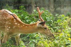 Um cervo bonito Imagens de Stock Royalty Free