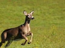 Um cervo Branco-atado corre o Meados de-voo Imagens de Stock