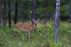 Um cervo Branco-atado fawn o virginianus do Odocoileus na floresta em Canadá fotos de stock