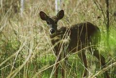 Um cervo curioso Fotografia de Stock