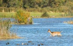 Um cervo de Fallow que cruza a lagoa fotografia de stock
