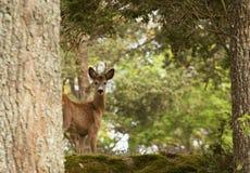 Um cervo de ovas Imagem de Stock
