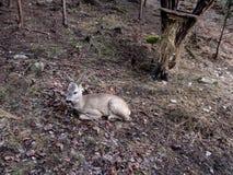 Um cervo de ovas novo sem chifres encontra-se na terra em uma floresta de outono-inverno sem neve e verdes Imagem de Stock Royalty Free