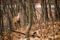Um cervo de whitetail novo. Foto de Stock Royalty Free