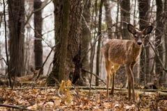 Um cervo de whitetail novo. Foto de Stock