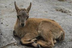 Um cervo do bebê encontra-se descansando na terra fotos de stock