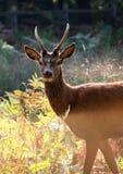 Um cervo do outono no parque de Richmond Fotografia de Stock