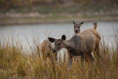 Um cervo do sambar do parque nacional do kanha, Índia imagem de stock
