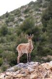 Um cervo em nerpio imagem de stock royalty free