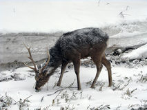 Um cervo encontrou no parque nacional de Shiretoko do Hokkaido, Japão Fotos de Stock