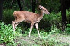 Um cervo fêmea Imagens de Stock Royalty Free