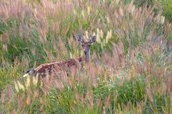 Um cervo fêmea de Sika Foto de Stock Royalty Free