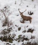Cervos masculinos Fotos de Stock Royalty Free