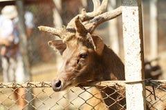 Um cervo masculino novo no jardim zoológico Imagem de Stock