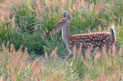 Um cervo no lado de um close-up Imagem de Stock Royalty Free