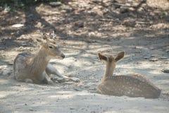 Um cervo pequeno de Chital Fotos de Stock Royalty Free