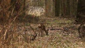 Um cervo que corre nas madeiras video estoque